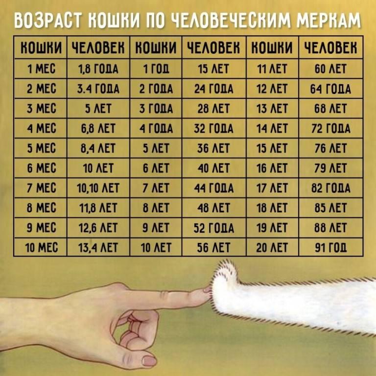 Сколько лет кошке по человеческим меркам таблица