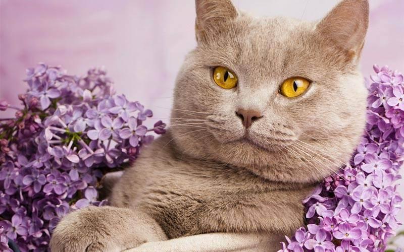 Описание голубых британских кошек и тонкости их содержания