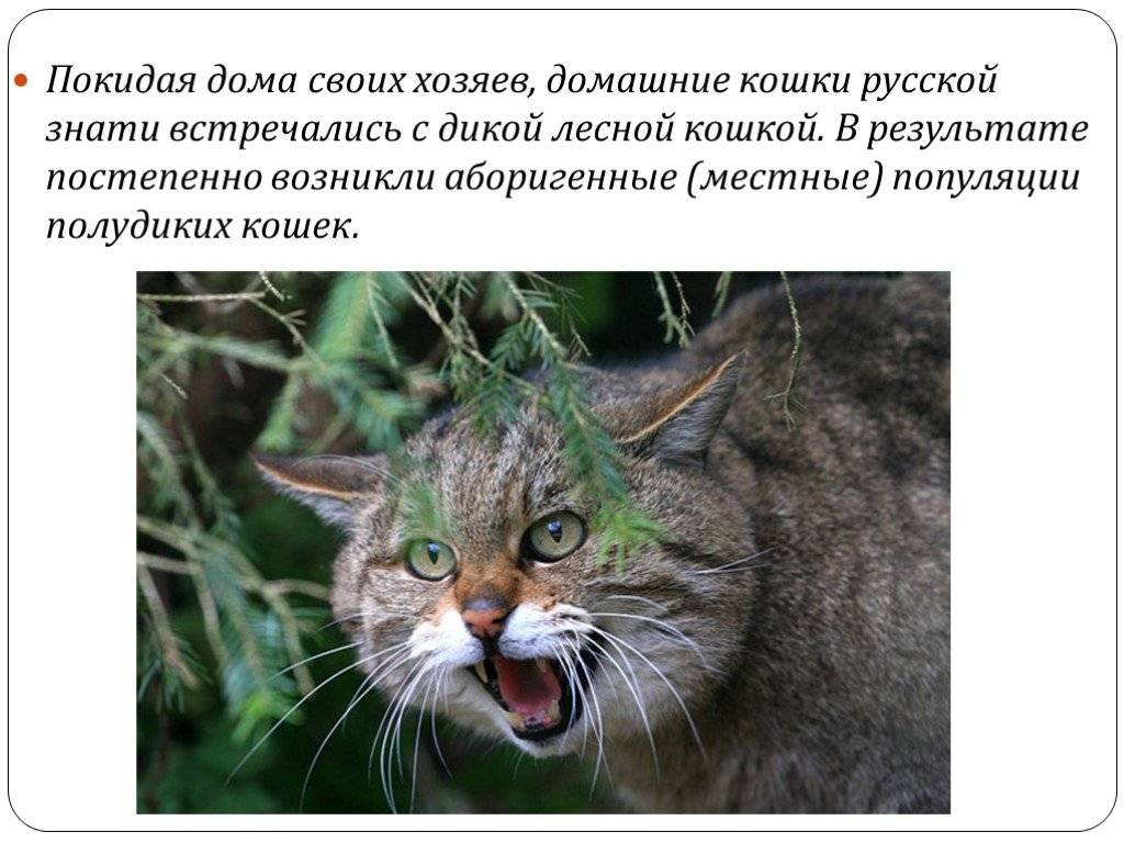 Интересные факты о лесном коте