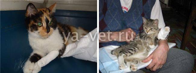 У кота опухла лапа, и он хромает – что делать, как лечить опухоль или отек?