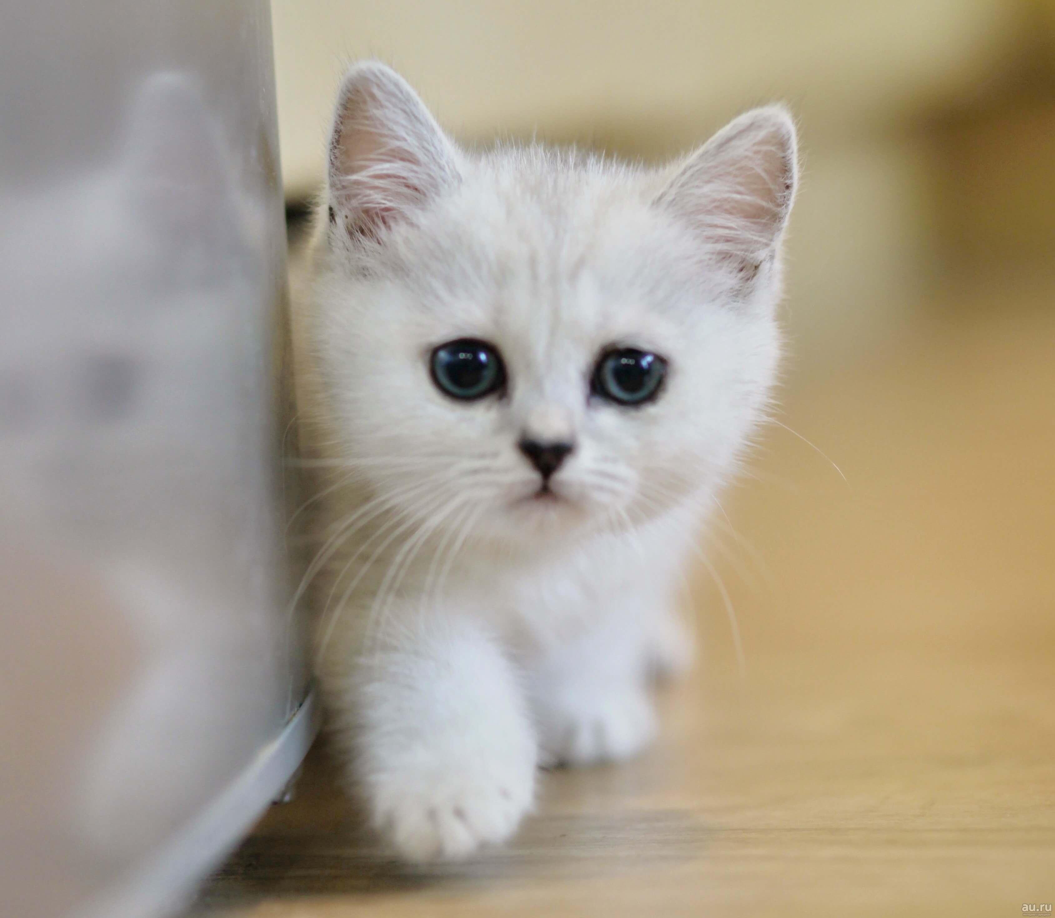 Можно ли британского котенка поить молоком