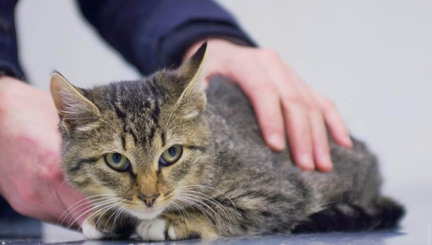Сальмонеллез у кошек симптомы лечение