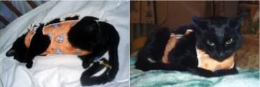 Поликистоз почек у кошек: симптомы, лечение, диета, прогноз