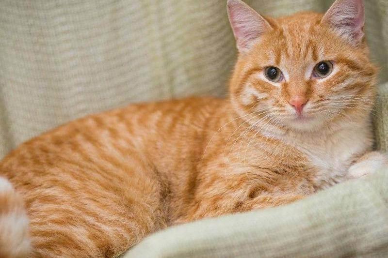 Рыжие сибирские коты (28 фото): характеристика породы кошек и описание окраса, рыжие котята с белыми лапками