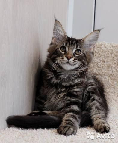 Вес мейн куна по месяцам: рост кота и кошки, размеры и таблица