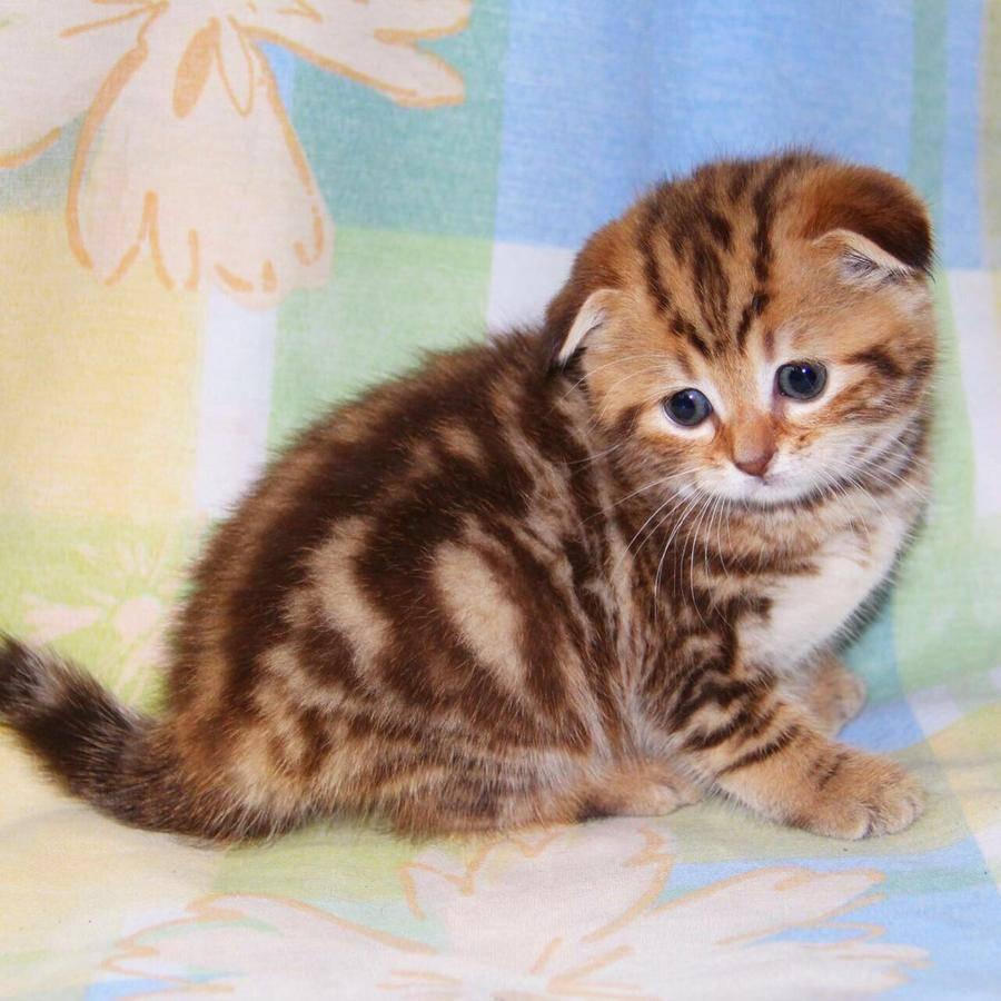 Имена и клички для шотландских вислоухих кошек