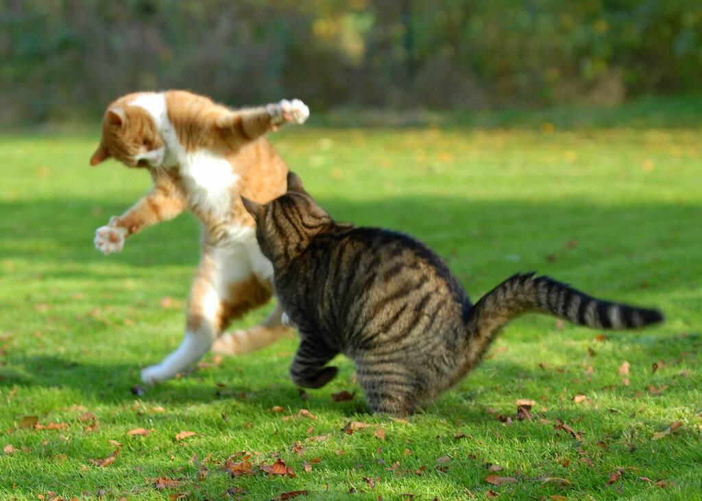 ᐉ как разнять дерущихся котов? - ➡ motildazoo.ru