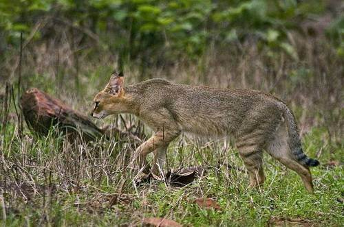 Камышовый кот - jungle cat - qwe.wiki