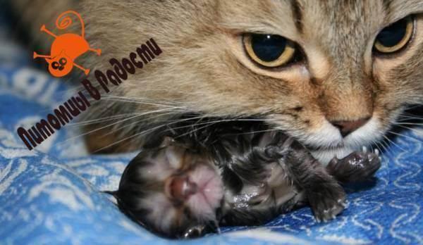Как правильно помочь кошке родить?