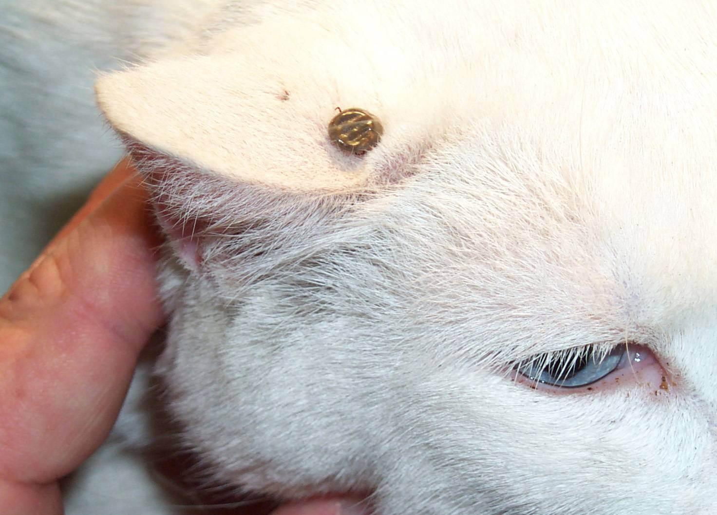 Кошку укусил клещ – симптомы, действия, последствия