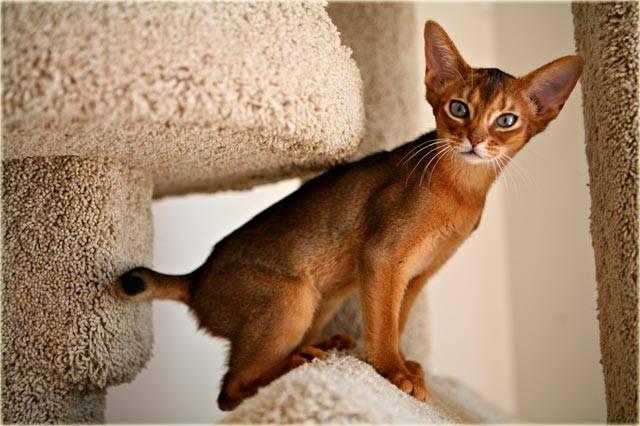 Абиссинская кошка - 135 фото внешнего вида и все плюсы породы в обзоре!