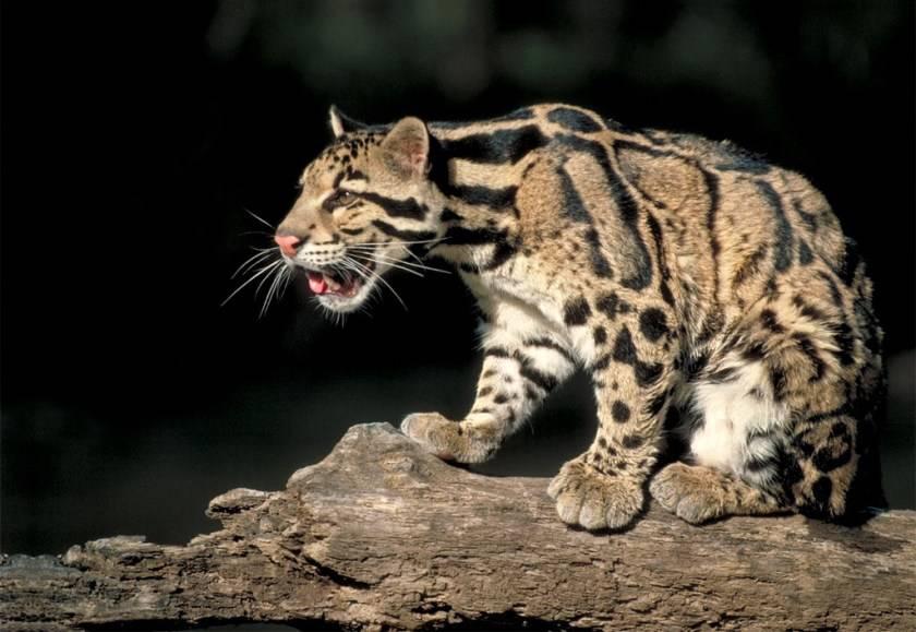 Самые быстрые кошки в мире: топ-10