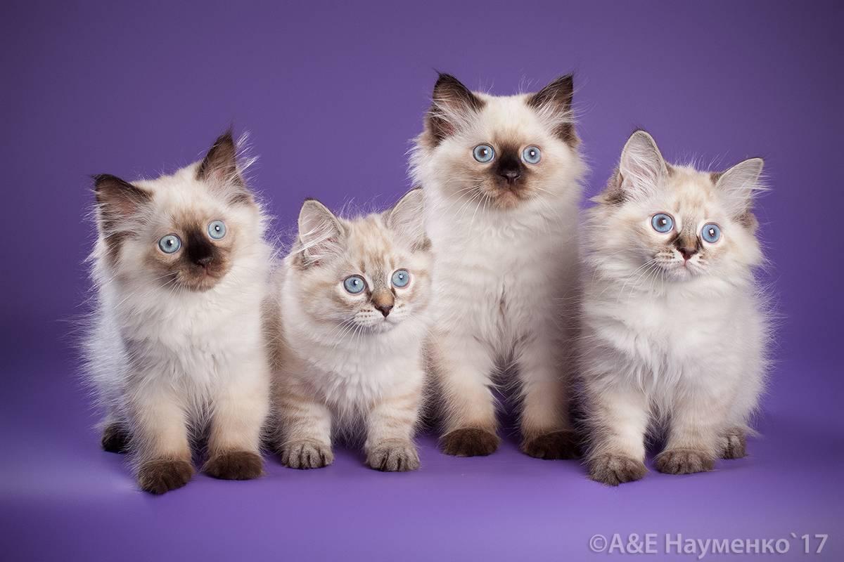 Невская маскарадная кошка: описание породы