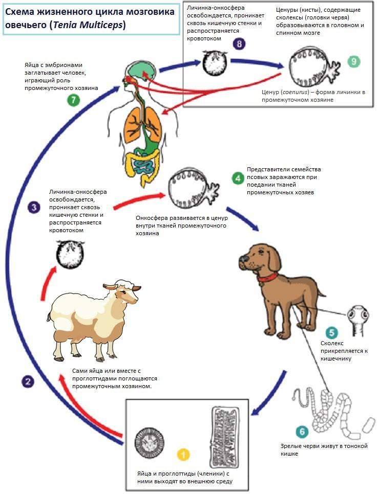 Дирофиляриоз у собак — как бороться с опасным гельминтозом