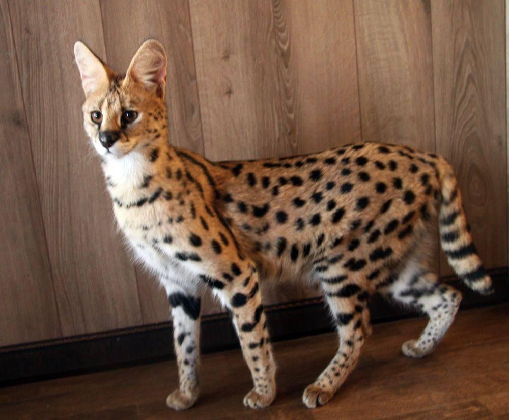 Саванна — порода больших и дружелюбных кошек | pet7