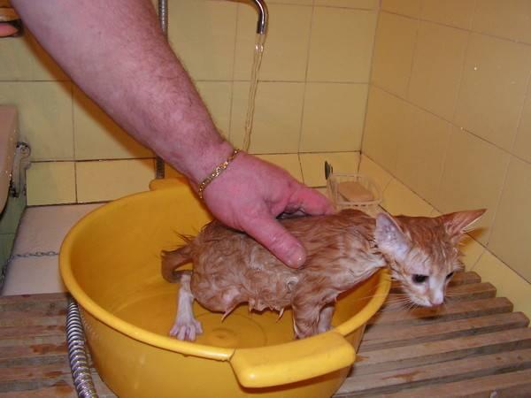 Как часто можно мыть кошку?