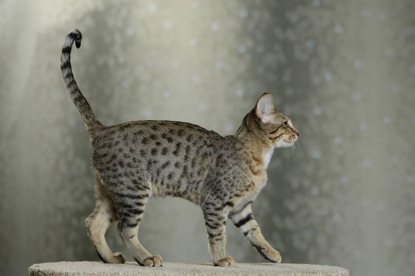 Топ 10 лучших пород кошек для квартиры - фото и описание