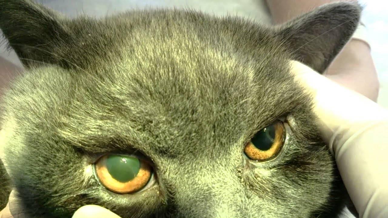 Третье веко у кошек: причины и лечение