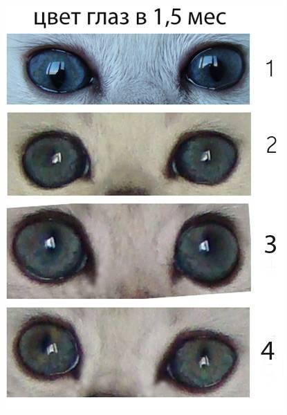 Изменение цвета глаз у кошек