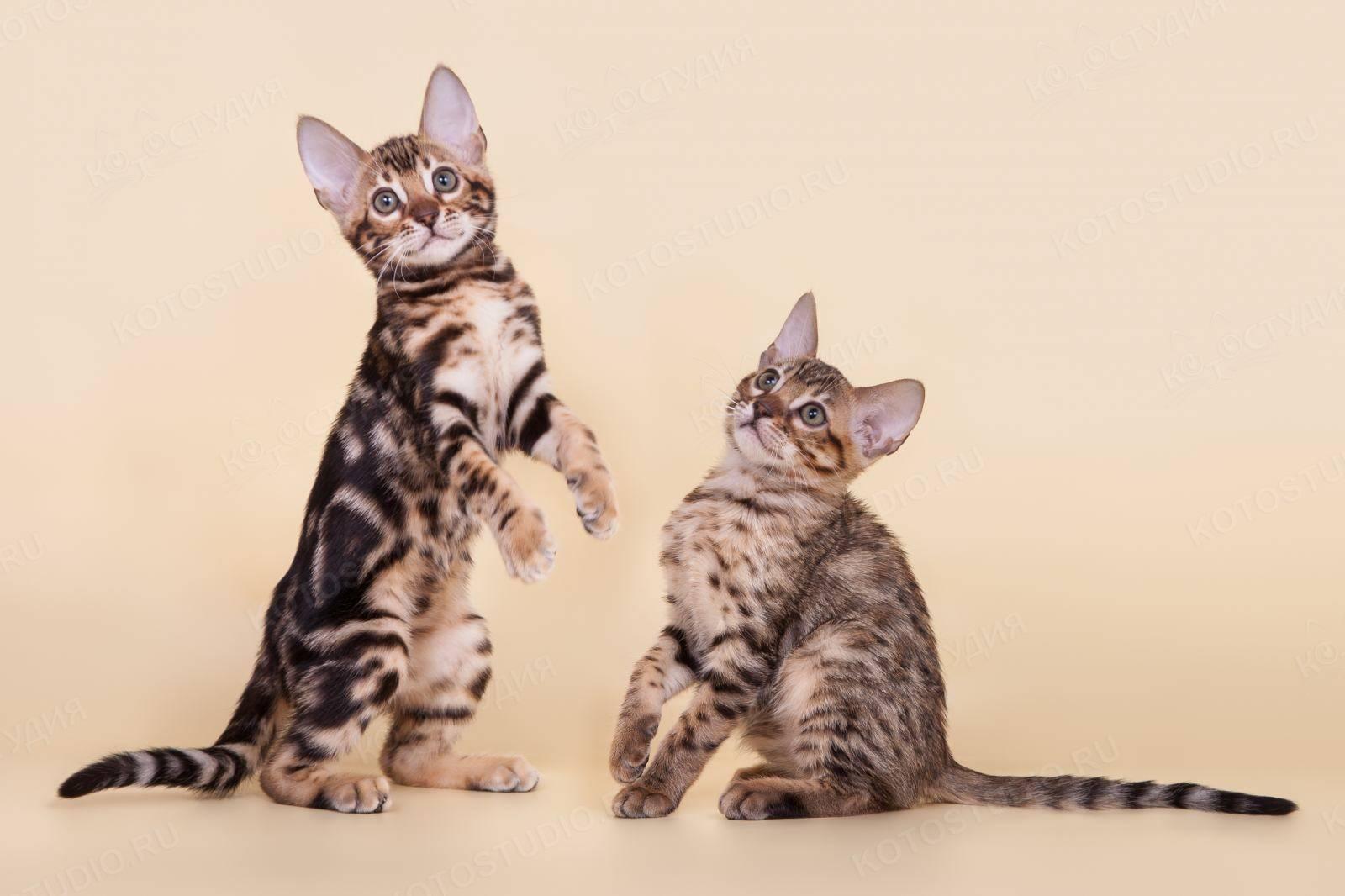 Серенгети: описание породы кошек, особенности содержания