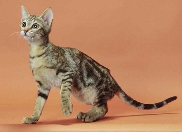 Картезианская кошка, или шартрез: описание породы с фото, рекомендации по уходу за животным