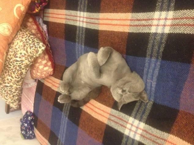 Почему коты топчут лапками хозяев и как вести себя человеку?