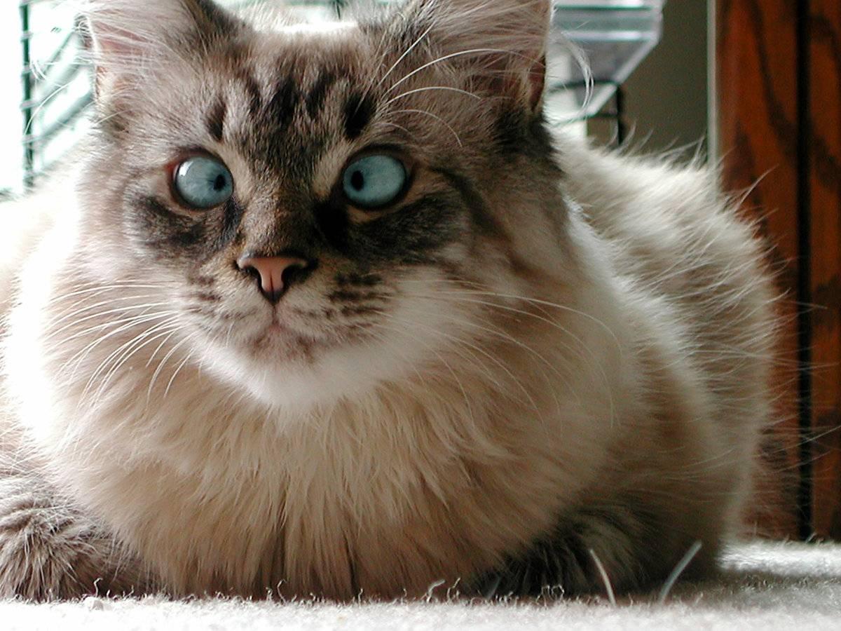 Косоглазие у кошек – причины и лечение   кот и кошка