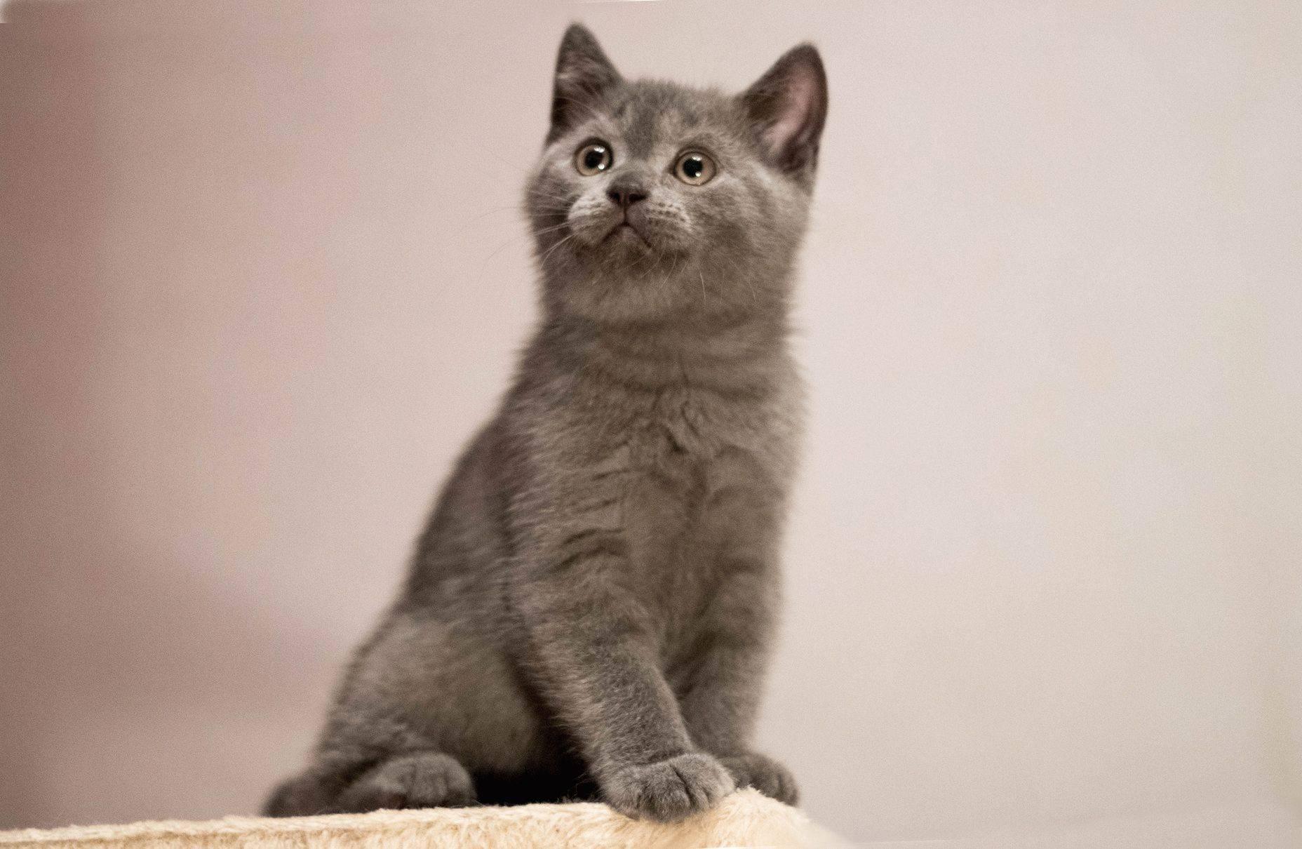 Фото британского котенка в 1-12 месяце — вес и рост по месяцам.