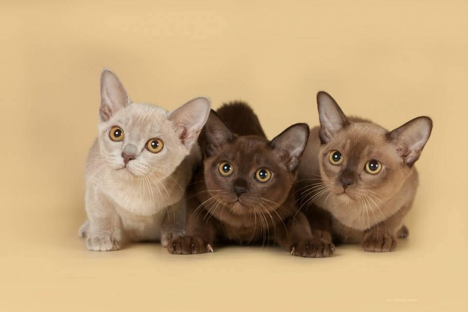 Описание кошек без подшерстка