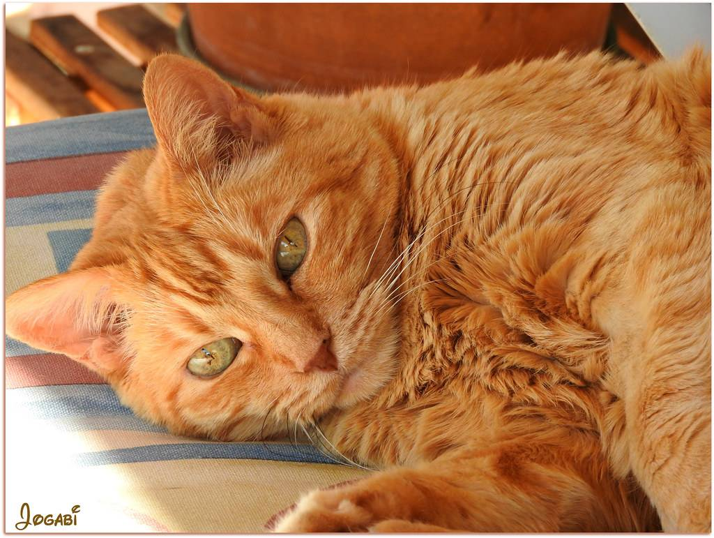 Как лечить панкреатит у кошек?
