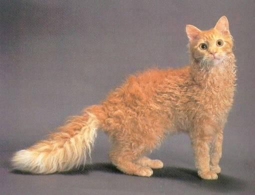 Какие бывают породы кудрявых кошек?