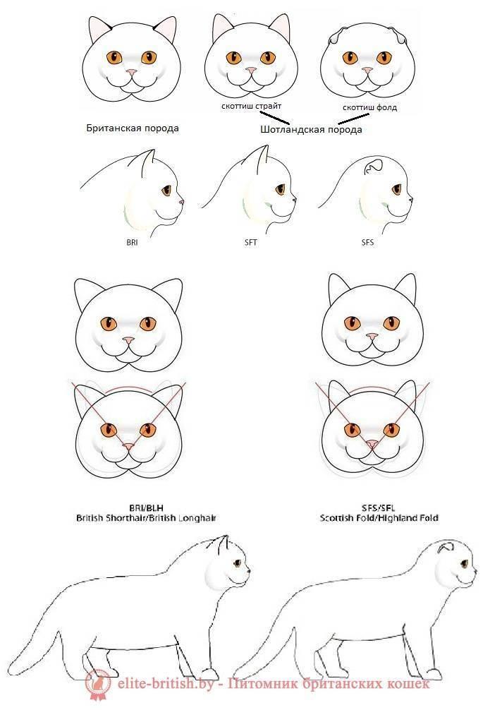 Отличия характера британцев и шотландцев - запись пользователя юлия (squoria) в сообществе домашние животные в категории кошки. болезни, прививки, советы по уходу - babyblog.ru