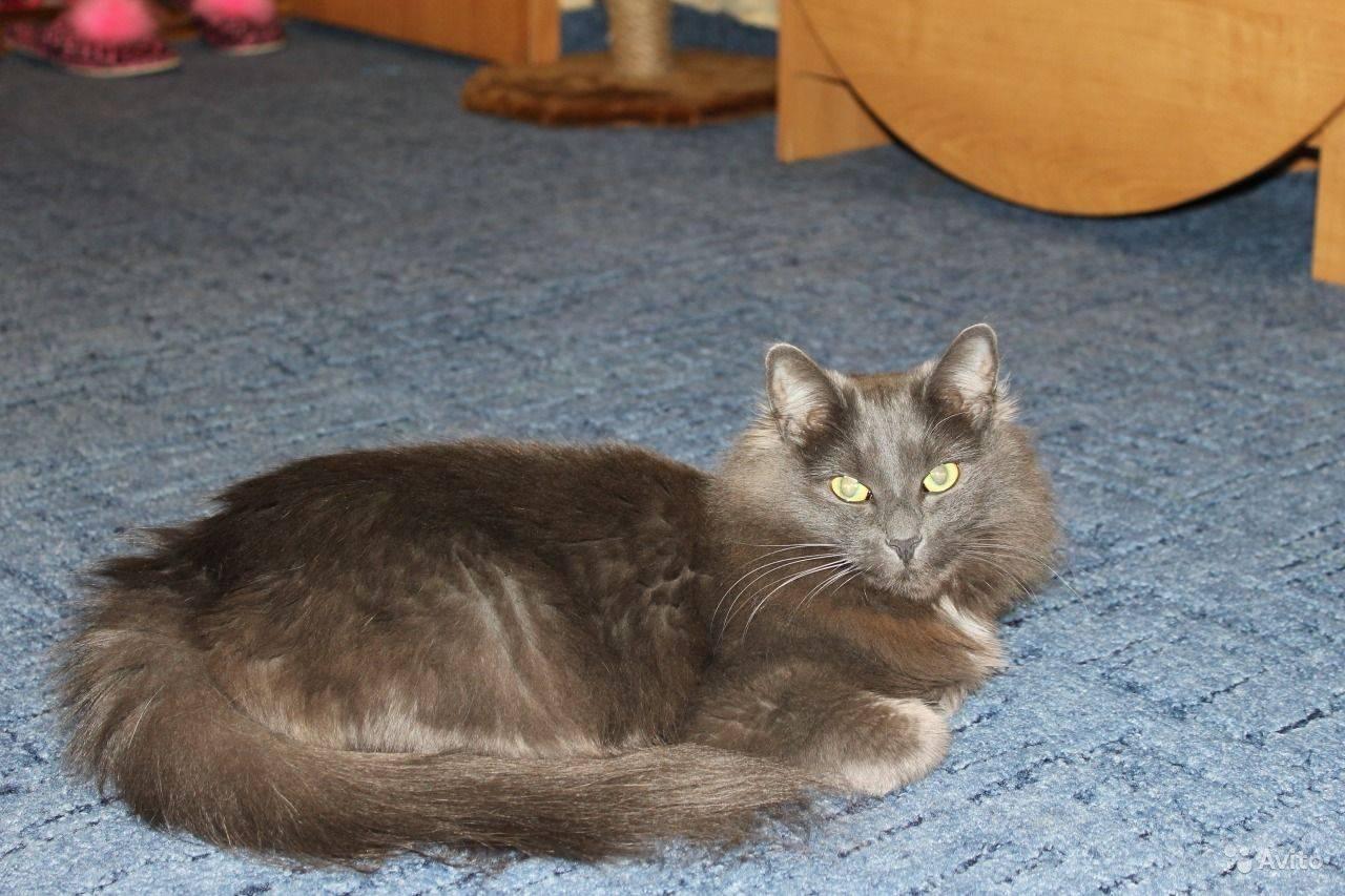 Русская голубая кошка: история породы, характерные черты, уход и разведение