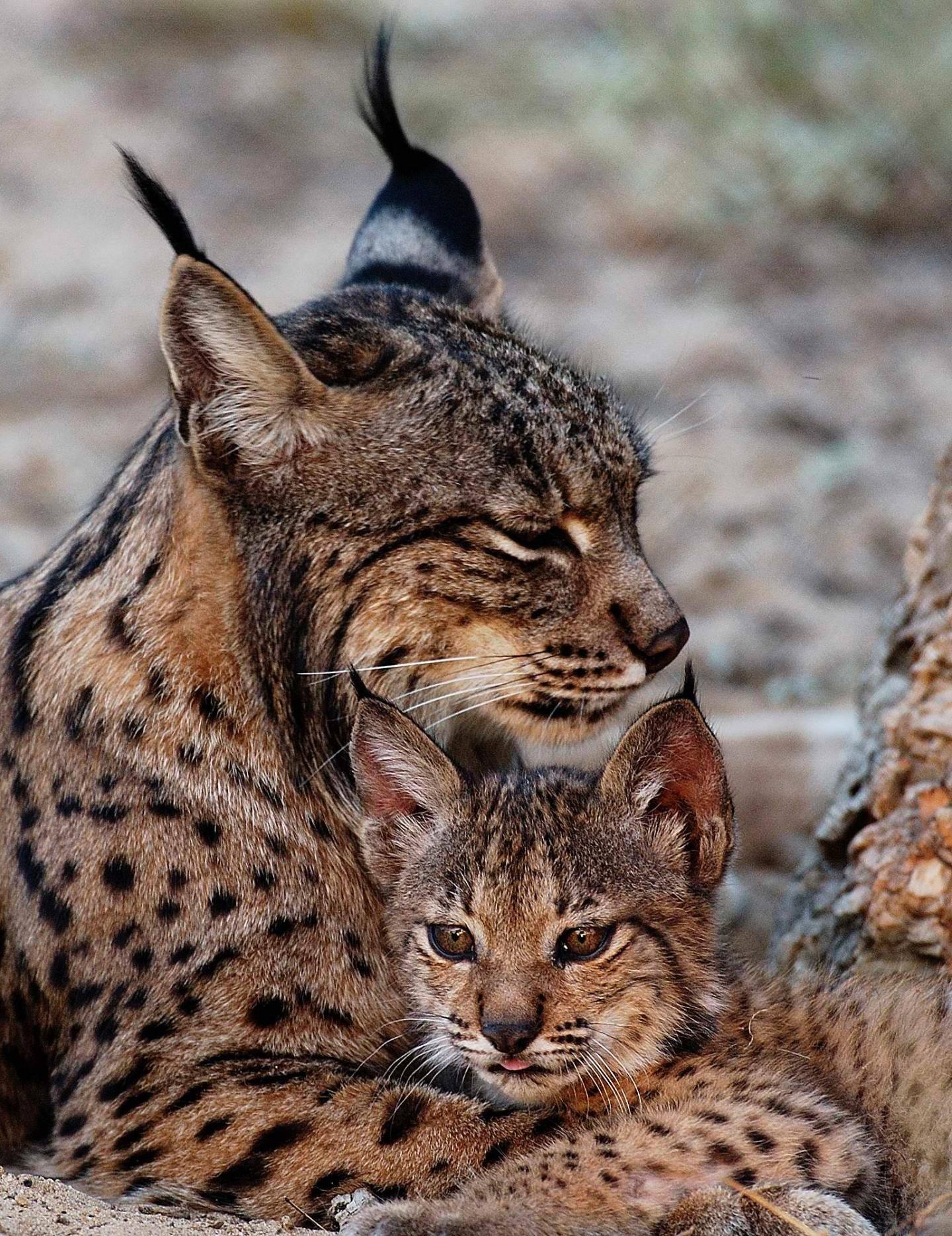 Пятнистые кошки: дикие и домашние