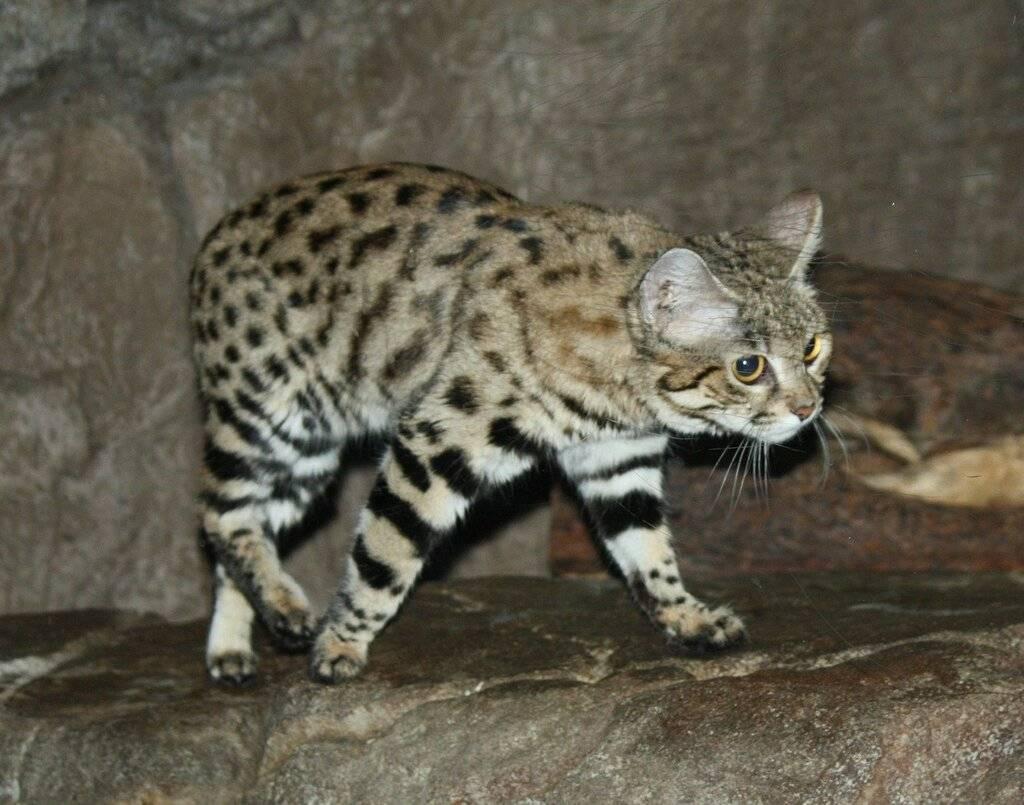 Кошка темминка: описание, внешний вид, характер, ареал обитания, цена