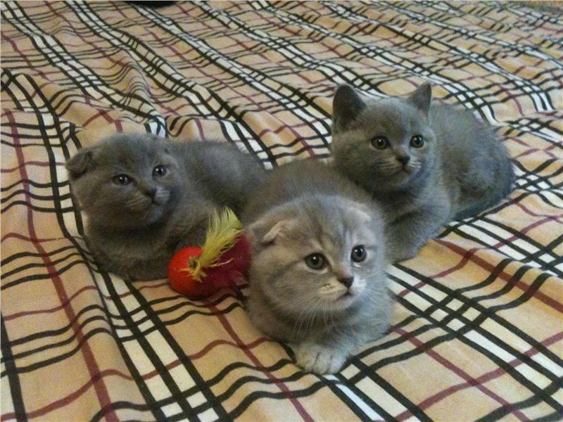 Как нужно ухаживать за британским котенком — советы по содержанию | кот и кошка