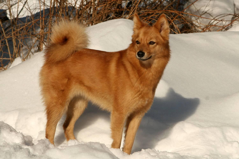 Карело-финская лайка: описание породы и особенности характера