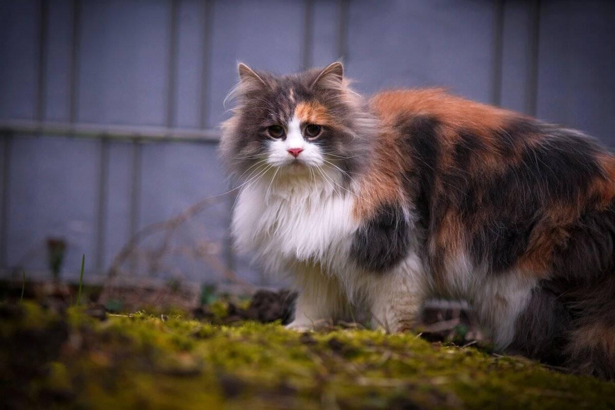6 интересных фактов о трехцветных кошках