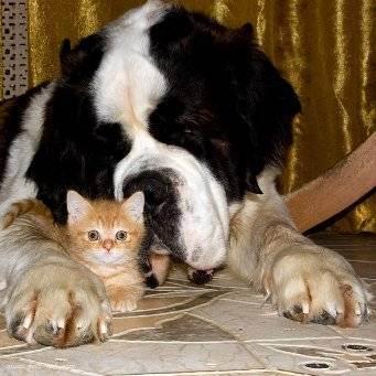 10 пород собак, которые ладят с кошками