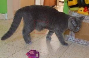 Почему у кота раздулся живот и бока