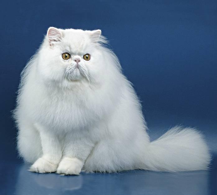 Персидская кошка: фото, описание породы, характер, вязка, цена