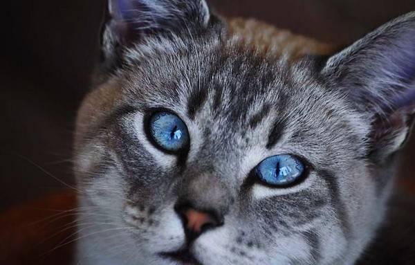 Белая кошка с голубыми глазами: популярные породы, уход за шерстью, фото