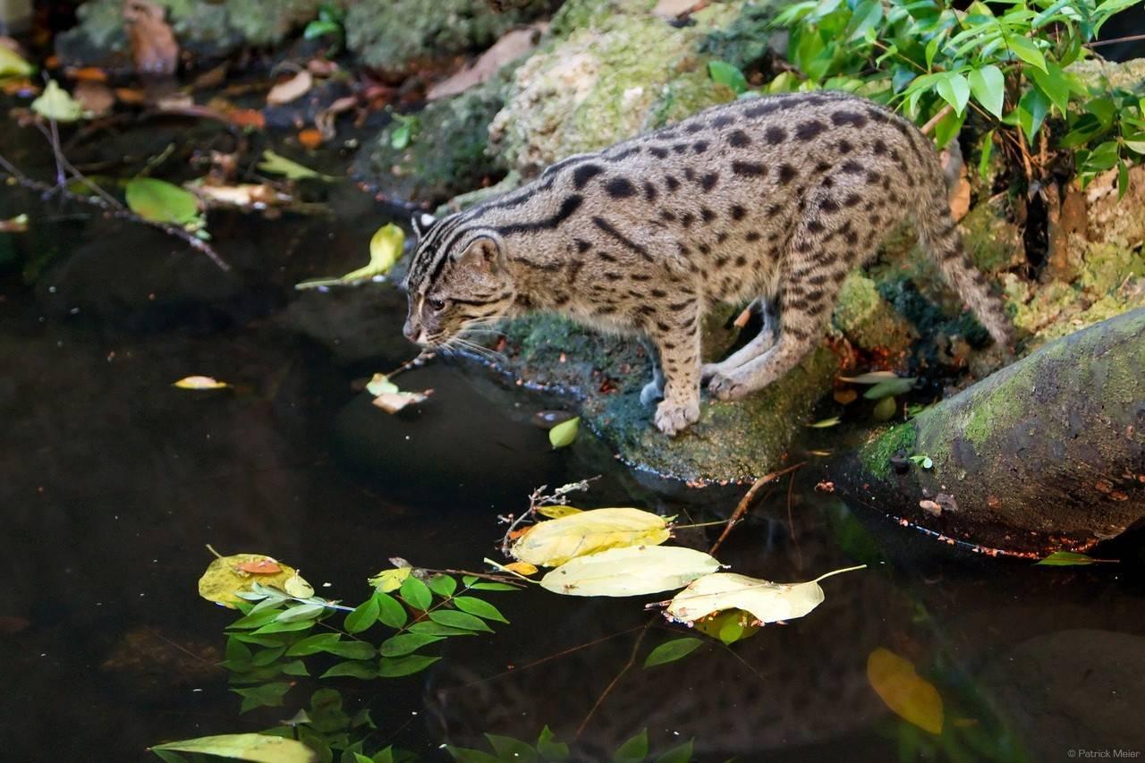 Виверровый кот-рыболов: фото, в домашних условиях, видео