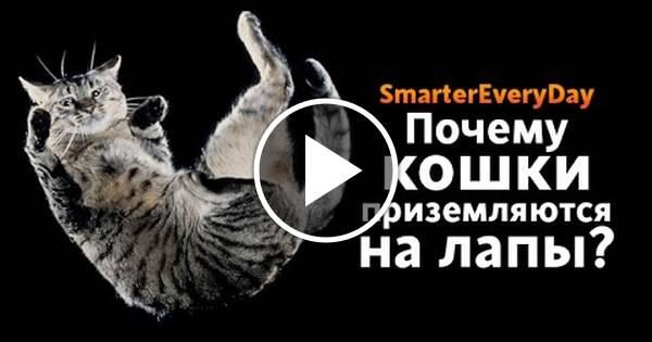 Почему кошки приземляются на лапы. почему кошки всегда приземляются на лапы падая с высоты? приземление кошки