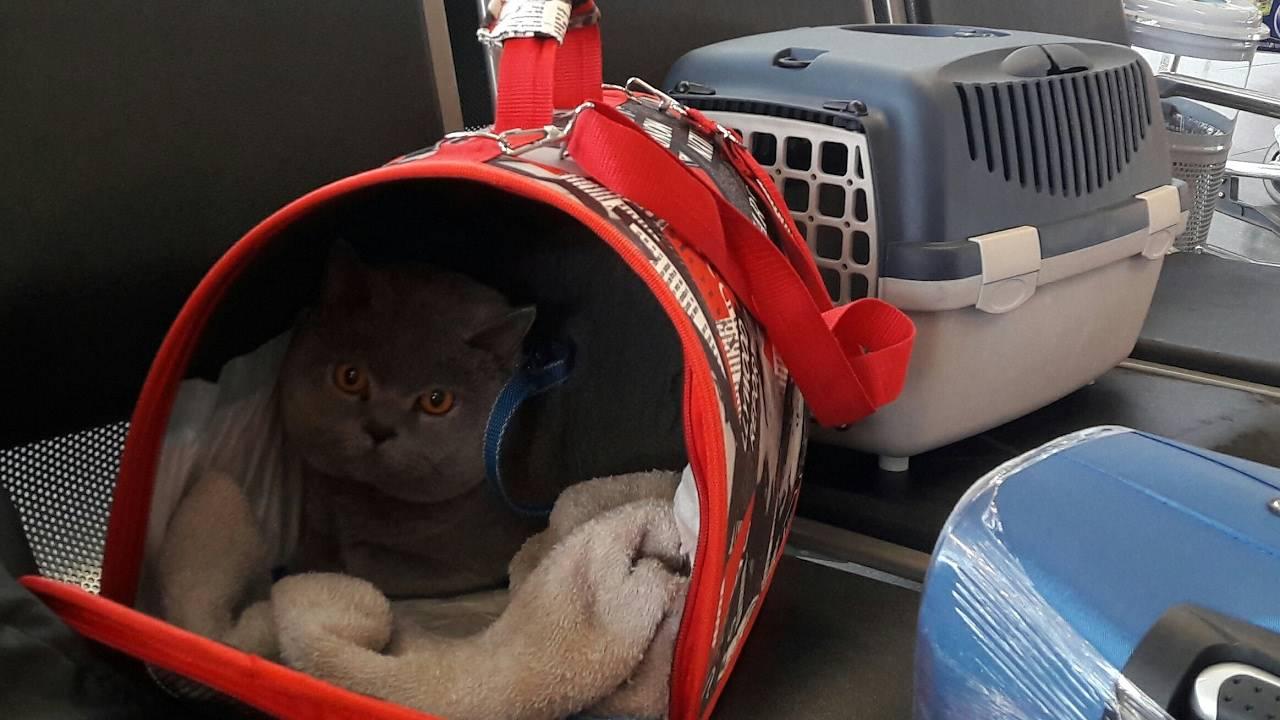 Как перевезти кошку в поезде. правила перевоза кошек в поезде