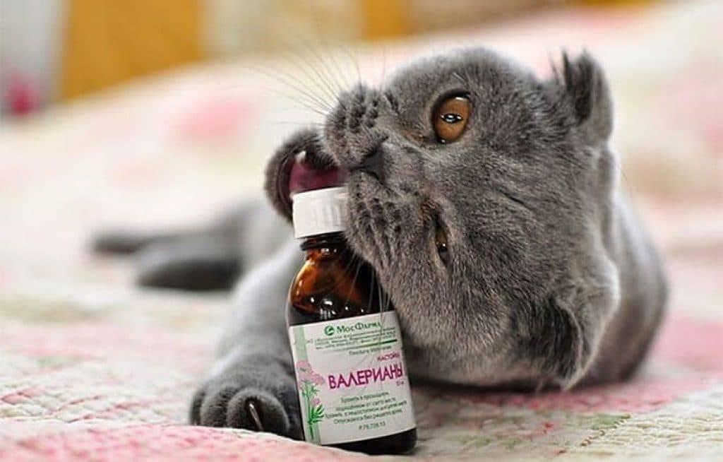 Валериана для кошек [воздействие, вредна ли, видео]