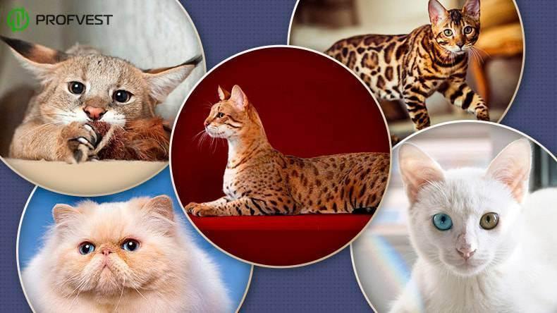 Самые крупные кошки: порода. самые крупные породы кошек