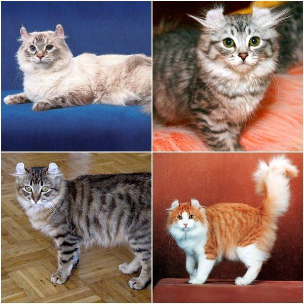 Игривые и дружелюбные: знакомимся с американскими кошками керл