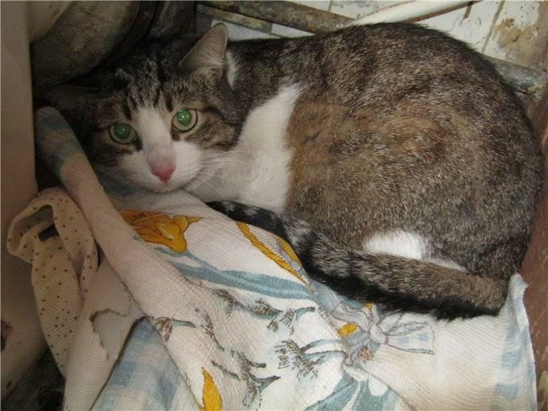Вялость и слабость у кошек - симптомы, лечение, препараты, причины появления | наши лучшие друзья