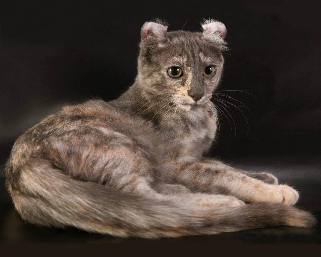 Американский керл: кошки и коты